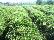 поставка и реализация грузинского чая